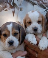 Trained beagle puppies available through animal talent agency Performing Animal Troupe. | We provide puppies and dog animal actors for television, commercials, photo shoots and other productions. | We have experienced puppy trainers and wranglers.