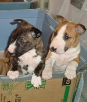 Trained bull terrier puppies available through animal talent agency Performing Animal Troupe. | We provide puppies and dog animal actors for television, commercials, photo shoots and other productions. | We have experienced puppy trainers and wranglers.