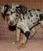 Trained spotted catahoula hound puppies available through animal talent agency Performing Animal Troupe. | We provide puppies and dog animal actors for television, commercials, photo shoots and other productions. | We have experienced puppy trainers and wranglers.