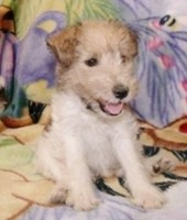 Trained fluffy fox terrier puppies available through animal talent agency Performing Animal Troupe. | We provide puppies and dog animal actors for television, commercials, photo shoots and other productions. | We have experienced puppy trainers and wranglers.