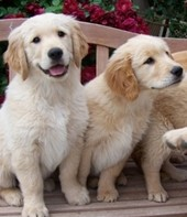 Trained fluffy golden retriever puppies available through animal talent agency Performing Animal Troupe. | We provide puppies and dog animal actors for television, commercials, photo shoots and other productions. | We have experienced puppy trainers and wranglers.