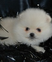 Trained fluffy pomeranian puppies available through animal talent agency Performing Animal Troupe. | We provide puppies and dog animal actors for television, commercials, photo shoots and other productions. | We have experienced puppy trainers and wranglers.