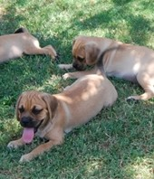Trained puggle puppies available through animal talent agency Performing Animal Troupe. | We provide puppies and dog animal actors for television, commercials, photo shoots and other productions. | We have experienced puppy trainers and wranglers.