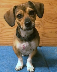 This is April the Dachshund mix, a small movie dog from the animal talent agency Performing Animal Troupe. | As an animal actor April the wiener-dog works on movies, television, commercials, photo shoots and other productions. | We have experienced studio dog trainers and wranglers.
