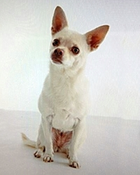 This is Pixie the Chihuahua, a small movie dog from the animal talent agency Performing Animal Troupe. | As an animal actor Pixie works on movies, television, commercials, photo shoots and other productions. | We have experienced studio dog trainers and wranglers.