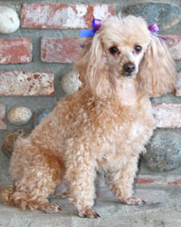 This is Cognac the Poodle, a small movie dog from the animal talent agency Performing Animal Troupe. | As an animal actor Cognac works on movies, television, commercials, photo shoots and other productions. | We have experienced studio dog trainers and wranglers.