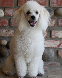 This is Donny the Poodle, a fancy movie dog from the animal talent agency Performing Animal Troupe. | As an animal actor Donny works on movies, television, commercials, photo shoots and other productions, including Ray Donovan. | We have experienced studio dog trainers and wranglers.