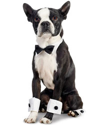This is Mac the Boston Terrier, a small movie dog from the animal talent agency Performing Animal Troupe. | As an animal actor Mac works on movies, television, commercials, photo shoots and other productions. | We have experienced studio dog trainers and wranglers.