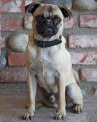 This is Leo the Pug, a small movie dog from the animal talent agency Performing Animal Troupe. | As an animal actor Leo works on movies, television, commercials, photo shoots and other productions, including Criminal Minds. | We have experienced studio dog trainers and wranglers.