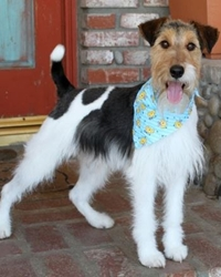This is Albert the Wire-haired Fox Terrier, a small scruffy movie dog from the animal talent agency Performing Animal Troupe. | As an animal actor Albert works on movies, television, commercials, photo shoots and other productions. | We have experienced studio dog trainers and wranglers.