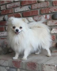 This is Jessie the Pomeranian, a small fluffy movie dog from the animal talent agency Performing Animal Troupe. | As an animal actor Jessie works on movies, television, commercials, photo shoots and other productions. | We have experienced studio dog trainers and wranglers.
