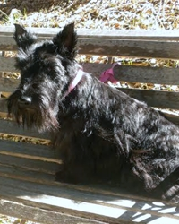 This is Lucy the Scottish Terrier, a small movie dog from the animal talent agency Performing Animal Troupe. | As an animal actor Soda the Scottie works on movies, television, commercials, photo shoots and other productions. | We have experienced studio dog trainers and wranglers.