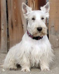 This is Soda the White Scottish Terrier, a small movie dog from the animal talent agency Performing Animal Troupe. | As an animal actor Soda the Scottie (who looks like a Westie) works on movies, television, commercials, photo shoots and other productions. | We have experienced studio dog trainers and wranglers.