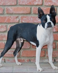 This is Willy the Boston Terrier, a small movie dog from the animal talent agency Performing Animal Troupe. | As an animal actor Willy works on movies, television, commercials, photo shoots and other productions. | We have experienced studio dog trainers and wranglers.