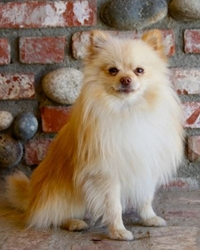 This is Woody the Pomeranian, a small fluffy movie dog from the animal talent agency Performing Animal Troupe. | As an animal actor Woody works on movies, television, commercials, photo shoots and other productions. | We have experienced studio dog trainers and wranglers.