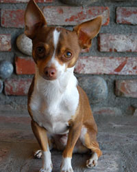 This is Billy the Chihuahua, a small movie dog from the animal talent agency Performing Animal Troupe. | As an animal actor Billy works on movies, television, commercials, photo shoots and other productions. | We have experienced studio dog trainers and wranglers.
