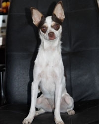 This is Rocco the Chihuahua, a small movie dog from the animal talent agency Performing Animal Troupe. | As an animal actor Rocco works on movies, television, commercials, photo shoots and other productions. | We have experienced studio dog trainers and wranglers.