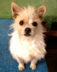 This is Tommy the Terrier Chihuahua mix, a small scruffy movie dog from the animal talent agency Performing Animal Troupe. | As an animal actor Tommy works on movies, television, commercials, photo shoots and other productions. | We have experienced studio dog trainers and wranglers.