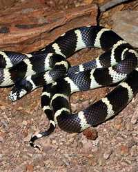Snake available through animal talent agency Performing Animal Troupe. | We provide rat snakes, garter snakes, corn snakes, king snakes, milk snakes, water snakes, tree snakes and other colubrids for movies, television, commercials, photo shoots and other productions. | We have experienced and safe snake wranglers and handlers.