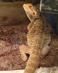 Bearded Dragon available through animal talent agency Performing Animal Troupe. | We provide Bearded Dragons and other reptiles for movies, television, commercials, photo shoots and other productions. | We have experienced reptile wranglers and handlers.