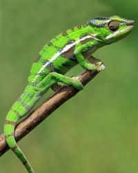 Chameleon available through animal talent agency Performing Animal Troupe. | We provide chameleons and other lizards and reptiles for movies, television, commercials, photo shoots and other productions. | We have experienced reptile wranglers and handlers.