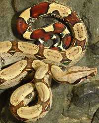 Boa Constrictor available through animal talent agency Performing Animal Troupe. | We provide boas, pythons, anacondas and other large snakes for movies, television, commercials, photo shoots and other productions. | We have experienced and safe snake wranglers and handlers.