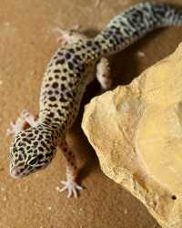 Gecko available through animal talent agency Performing Animal Troupe. | We provide geckos and other lizards and reptiles for movies, television, commercials, photo shoots and other productions. | We have experienced reptile wranglers and handlers.