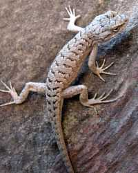 Lizard available through animal talent agency Performing Animal Troupe. | We provide lizards and other reptiles for movies, television, commercials, photo shoots and other productions. | We have experienced reptile wranglers and handlers.