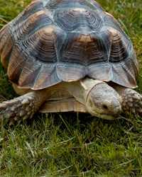 Tortoise available through animal talent agency Performing Animal Troupe. | We provide turtles, tortoises and other reptiles for movies, television, commercials, photo shoots and other productions. | We have experienced reptile wranglers and handlers.